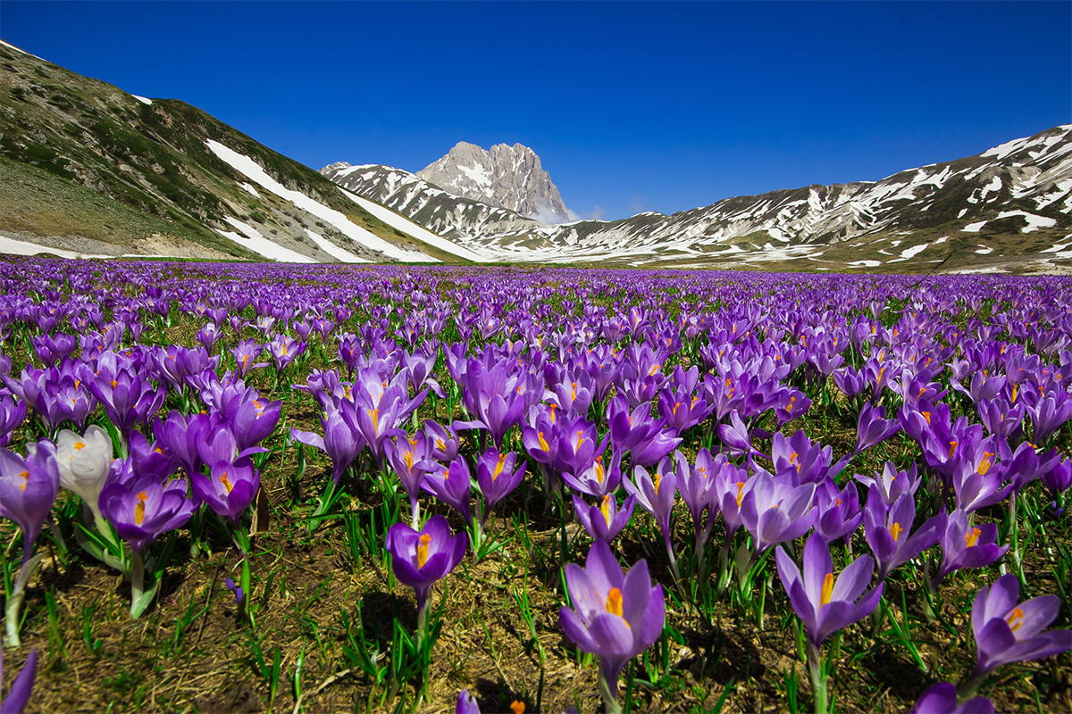 Spring Crocus, Crocus Vernus, growing on Campo Imperatore plateau, in the Gran Sasso D'Italia National Park in Abruzzo, Italy.